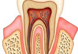آناتومی دندان (عصب، ریشه)، انواع، تعداد، شکل دندان
